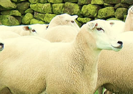 July 2017 - Trace Element Deficiency in Growing Lambs